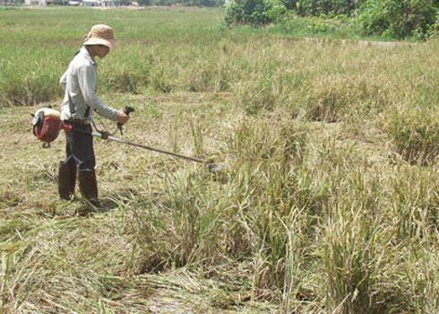 Nhà nông khóc trước cánh đồng lúa toàn hạt lép